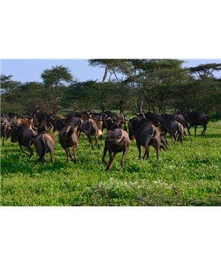 WorldTrip Gnu Herd