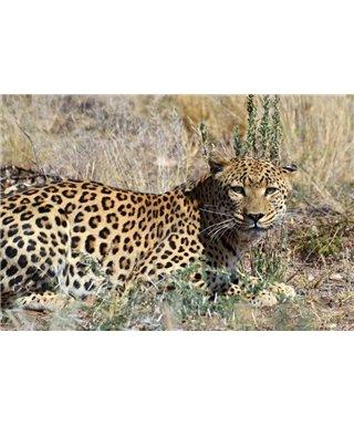 WorldTrip Leopard In The Bush